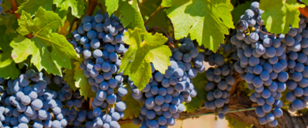 Napa Valley red wine grapes
